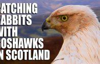 Catching Rabbits with Goshawks in Scotland