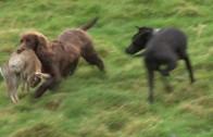 Fun day ferreting rabbits in Somerset