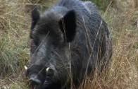 Fieldsports Britain – Hunting British wild boar + woodcock bonanza + Quex Museum