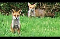 Fieldsports Britain – Australian-rules fox shooting + YouTubers who hunt