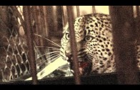 Angry leopard release