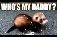 Ferret asks: who's my daddy?