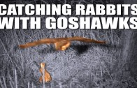 Catching rabbits with goshawks + a fox