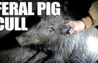 Feral Pig Cull