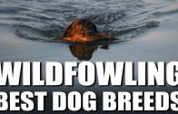 Best Wildfowling Dog Breeds