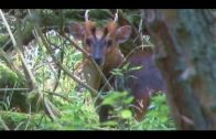 Calling in muntjac deer using a buttolo