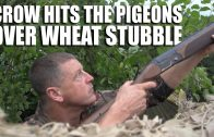 Crow Hits the Pigeons over Wheat Stubble