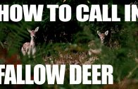 How to Call in Fallow Deer