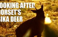 Looking after Dorset's Sika Deer