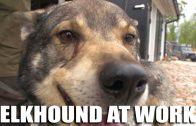 Elkhound at Work