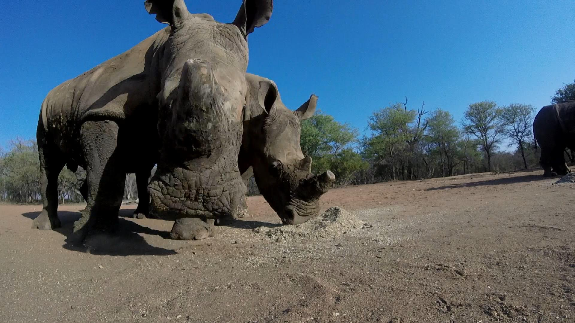 rhino wars An honour to appear in a picture, but of course very sad about the need to de-horn this rhino we all love rhinos much more with their horns unfortunately this poaching crisis forces humanity to re-think what conservation is about.