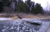 Moose saved from ice