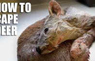 How to cape deer