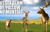 Sussex Slam: Roebuck, Fallow Buck and Muntjac