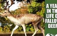 A Year in the Life of Fallow Deer – part 1
