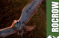 'Rocrow' drone trains birds of prey to hunt