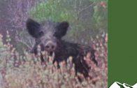 Hunting speedy wild boar in Corsica