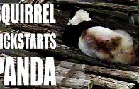 Squirrel Kickstarts Panda