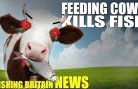 Feeding Cows Kills Fish – Fishing Britain NEWS