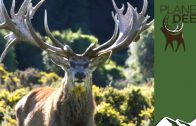 The biggest red stags on the planet