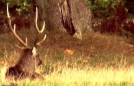 What makes a good trophy sika stag?