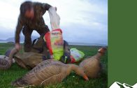 Superb goose shooting in Orkney